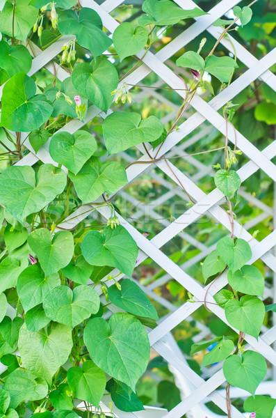 киви листьев аннотация лист фрукты саду Сток-фото © tycoon