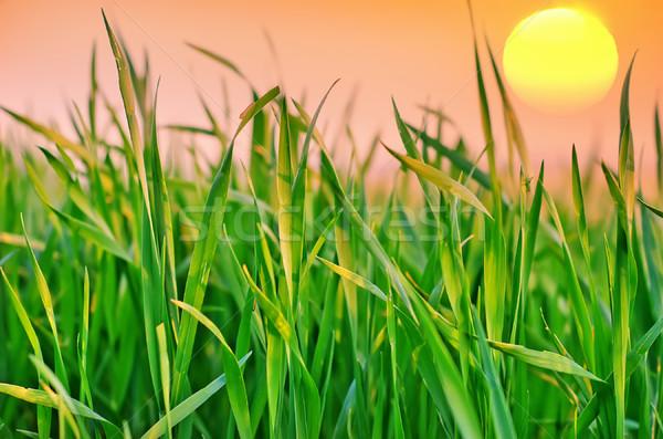 Charakter zielone dziedzinie wygaśnięcia trawy słońce Zdjęcia stock © tycoon