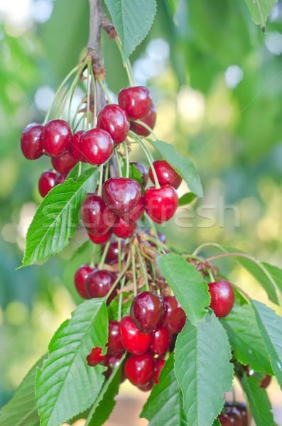 cherry on tree Stock photo © tycoon