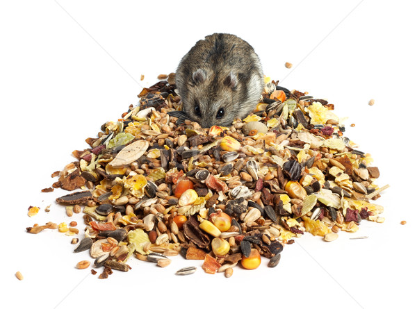 Djungarian Hamster eating Stock photo © ultrapro