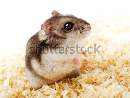 Hamster haren portret grappig eten oor Stockfoto © ultrapro