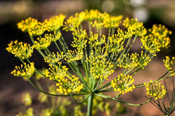 ビッグ 黄色 花 自然 ストックフォト © ultrapro