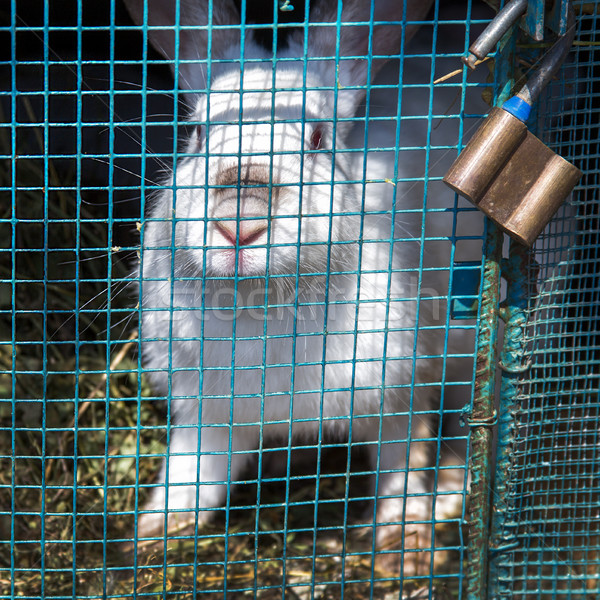 белый кролик клетке за сетке весны Сток-фото © ultrapro