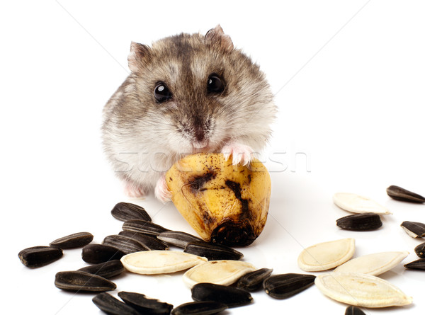 hamster holding a old banana Stock photo © ultrapro