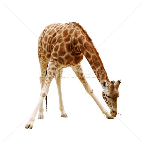 Giraffa isolato bianco up ramo Foto d'archivio © ultrapro