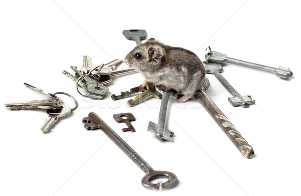 Djungarian Hamster on keys Stock photo © ultrapro