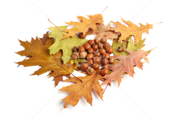 dry oak leaves and acorns on white Stock photo © ultrapro