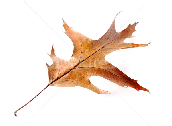 dry oak leaves on white background Stock photo © ultrapro