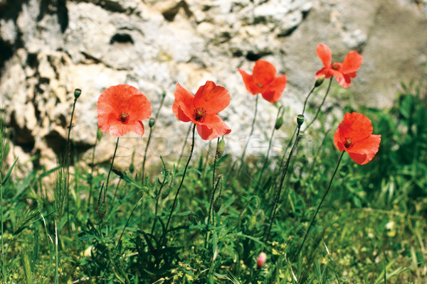 Amapolas ladera verano naturaleza paisaje Foto stock © ultrapro