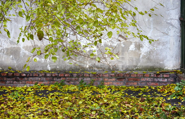 linden tree branch on the old wall background Stock photo © ultrapro