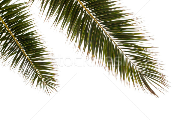 Green Palm Tree On White Background Stock photo © ultrapro