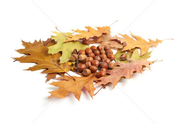 высушите дуб листьев белый фон красоту Сток-фото © ultrapro