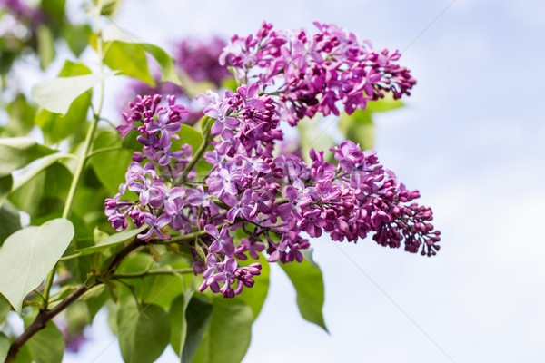 Ramo primavera flores Foto stock © ultrapro