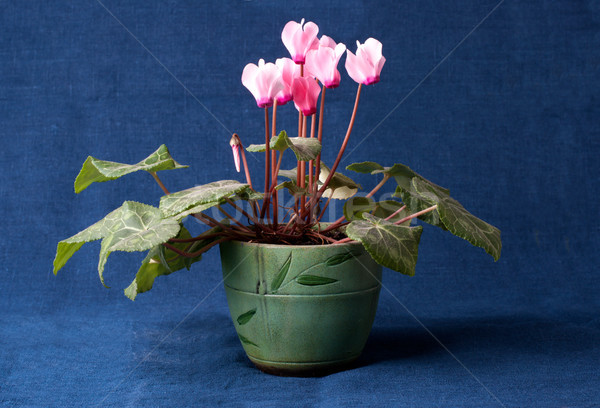Pink cyclamen flowers in the pot Stock photo © ultrapro