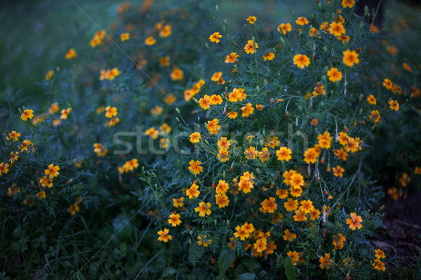 Flores amarelas noite chuva raso jardim Foto stock © ultrapro
