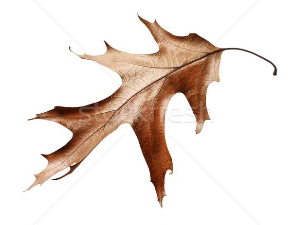 Secar carvalho folha isolado branco cor Foto stock © ultrapro