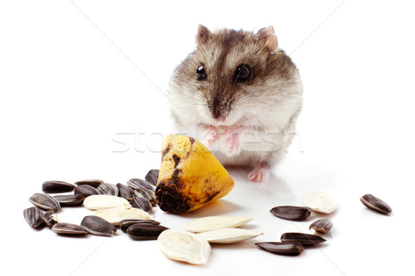 hamster with grain on white Stock photo © ultrapro
