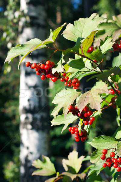 Red Viburnum berries in the tree Stock photo © ultrapro