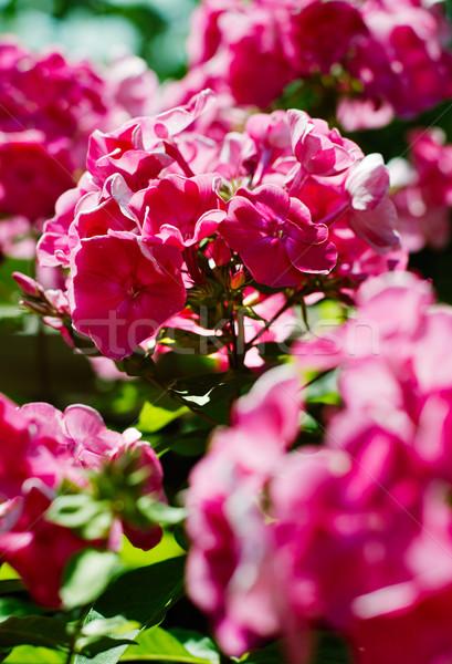 花 開花 近い その他 花 庭園 ストックフォト © ultrapro