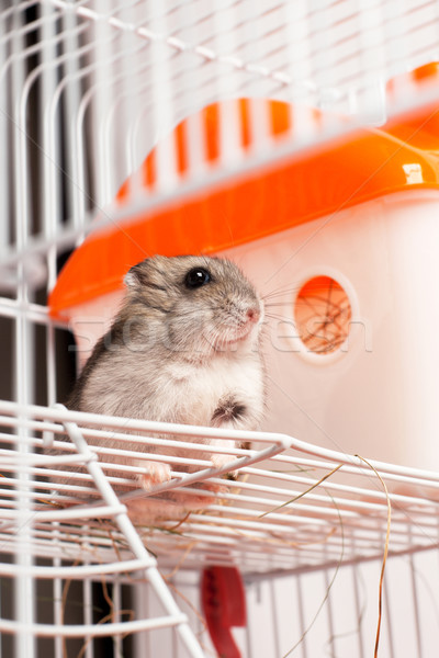 Djungarian hamster in a cage Stock photo © ultrapro