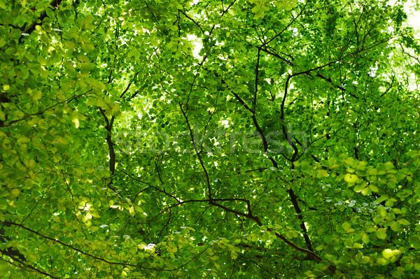 Zöld levelek közelkép tavasz absztrakt terv háttér Stock fotó © ultrapro