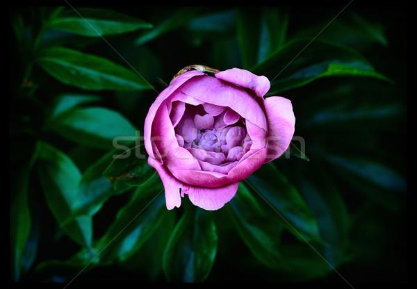 Tuin donkere bloem voorjaar schoonheid Stockfoto © ultrapro