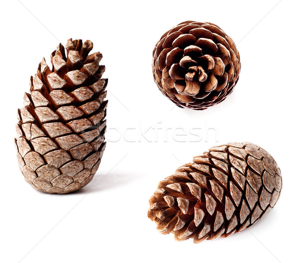 cedar pine cone Stock photo © ultrapro