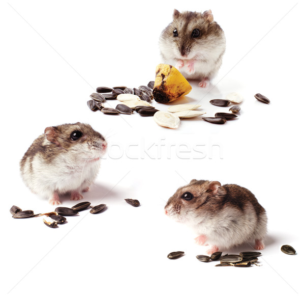 set of hamsters with grain on white background Stock photo © ultrapro