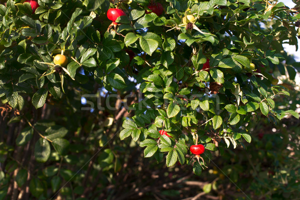 Rood Geel heupen groene bladeren natuur blad Stockfoto © ultrapro