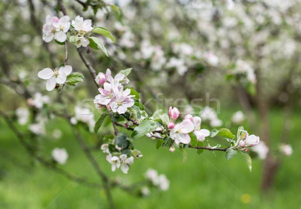 Appel bloesems voorjaar groene boom natuur Stockfoto © ultrapro