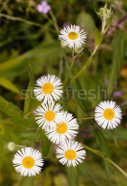 Camomila flores grama verde flor primavera verão Foto stock © ultrapro