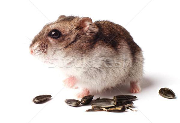Hamster graan witte geïsoleerd haren portret Stockfoto © ultrapro