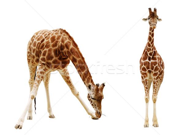 Giraffa isolato bianco albero natura Foto d'archivio © ultrapro
