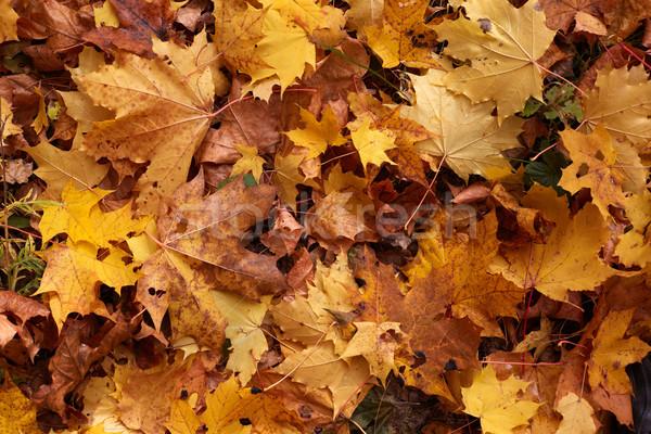 Amarelo bordo folhas textura árvore folha Foto stock © ultrapro