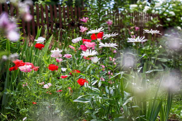 Verão jardim florescimento flor primavera Foto stock © ultrapro