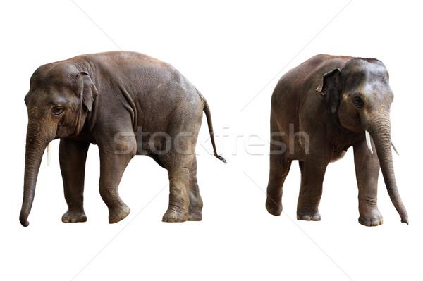 Twee olifanten geïsoleerd witte natuur Stockfoto © ultrapro