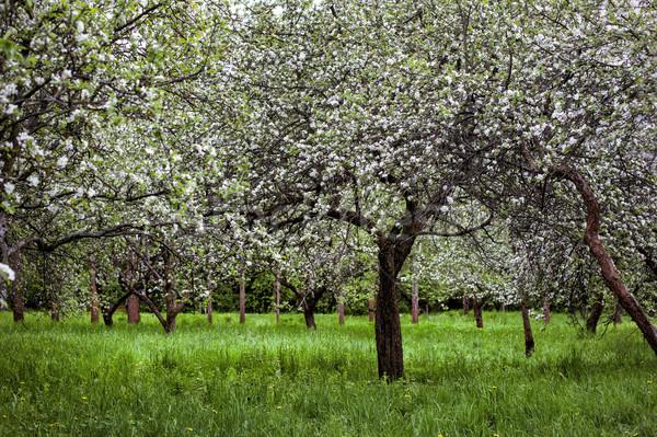 Fioritura ramo melo primavera bianco cielo Foto d'archivio © ultrapro