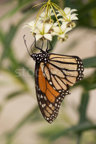 Monarch Butterfly stages 04 Stock photo © Undy