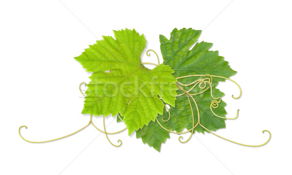 Grape leaves 03 Stock photo © Undy