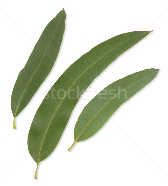 Gum Leaves with clipping paths Stock photo © Undy