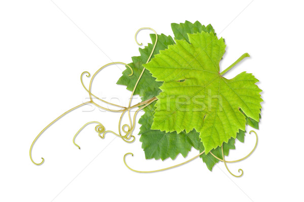 Grape leaves 02 Stock photo © Undy