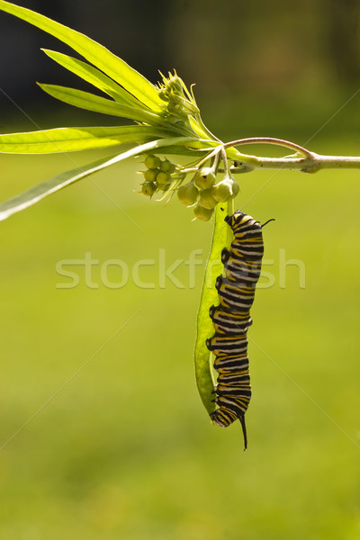 Monarch Butterfly Caterpillar Stock photo © Undy