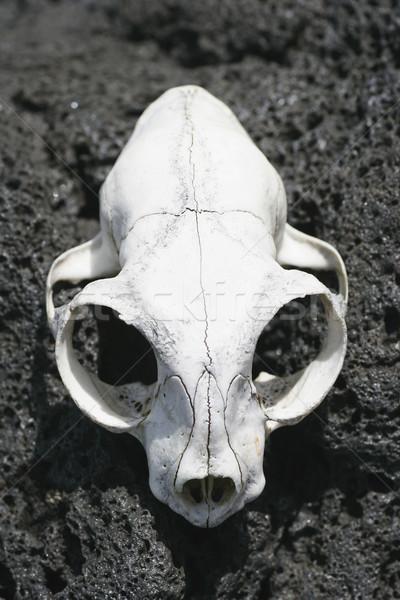Animal Skull 02 Stock photo © Undy
