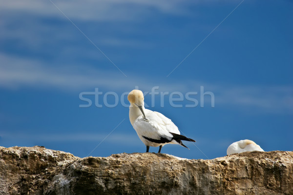 Gannet 01 Stock photo © Undy