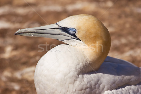 Gannet 02 Stock photo © Undy
