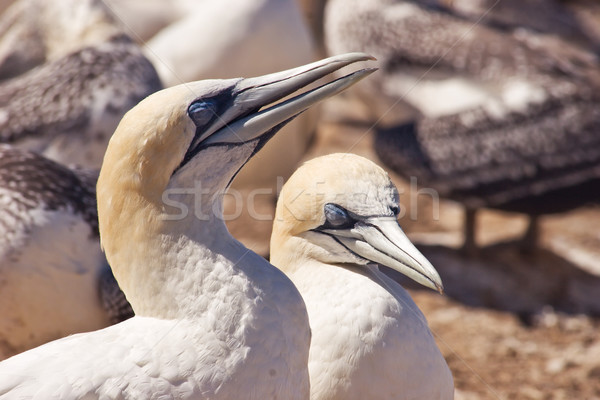 Gannet 05 Stock photo © Undy