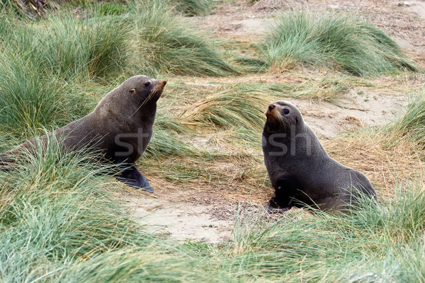 Two seals in the tussock Stock photo © Undy