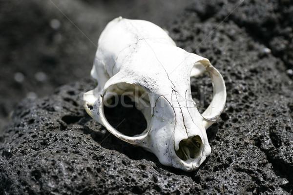 Animal Skull 01 Stock photo © Undy