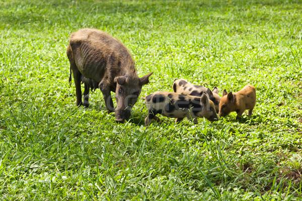 Pork ribs Stock photo © Undy