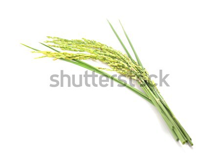 green spike rice Isolated on white Background Stock photo © ungpaoman